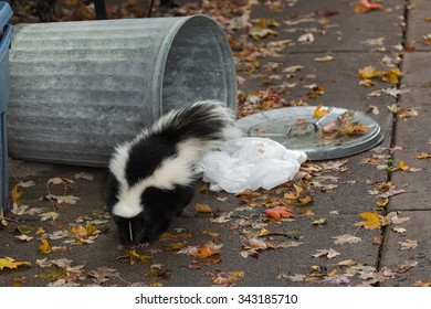 Striped Skunk (Mephitis mephitis) By Overturned Trash Can - captive animal