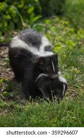 Striped Skunk (Mephitis mephitis) Carries Kit - captive animal