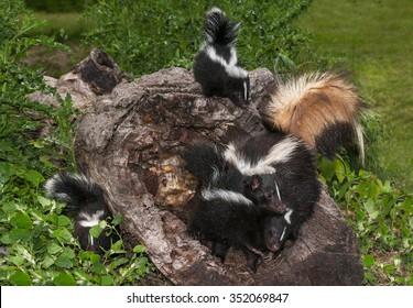 Striped Skunk (Mephitis mephitis) Family - captive animals