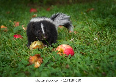 Striped Skunk (Mephitis mephitis) Kit And Apples - captive animal
