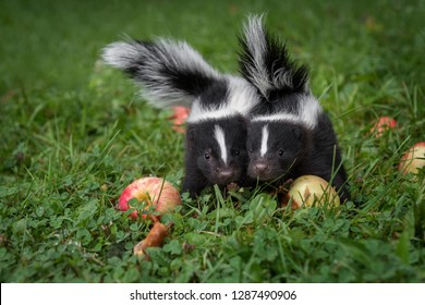 Striped Skunk (Mephitis mephitis) Kits With Apples Look Out Summer - captive animals