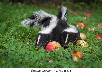 Striped Skunk (Mephitis mephitis) Kits With Apples Summer - captive animals