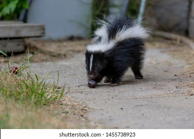 The striped skunk  (Mephitis mephitis)  near the human dwelling. The young skunk found cherry
