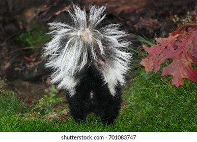 Striped Skunk (Mephitis mephitis) Rear - captive animal