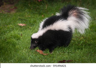 Striped Skunk (Mephitis mephitis) Sniffs in Grass - captive animal