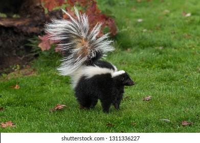 Striped Skunk (Mephitis mephitis) Stands Tail Up Autumn - captive animal