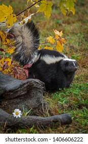 Striped Skunk (Mephitis mephitis) Stands Tail Up Near Log Autumn - captive animal