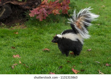 Striped Skunk (Mephitis mephitis) Stands Up Tall Arching Tail - captive animal