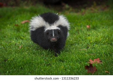 Striped Skunk (Mephitis mephitis) Steps Directly Forward Autumn - captive animal