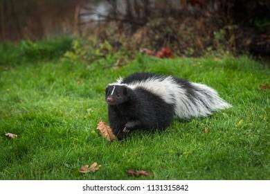 Striped Skunk (Mephitis mephitis) Steps Forward - captive animal
