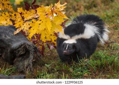 Striped Skunk (Mephitis mephitis) Steps Forward by Autumn Log - captive animal