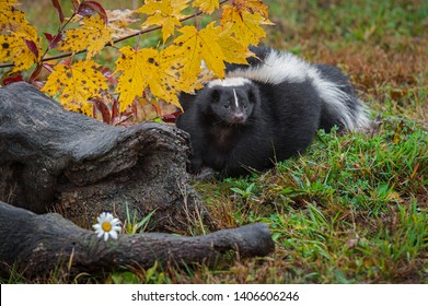 Striped Skunk (Mephitis mephitis) Steps Forward From Behind Log Autumn - captive animal