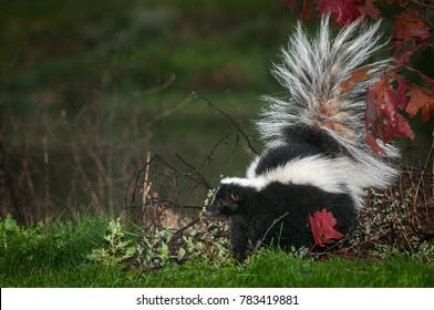 Skunk Tail Images Stock Photos Vectors Shutterstock