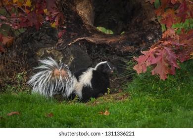 Striped Skunk (Mephitis mephitis) Turns Back From Log Autumn - captive animal