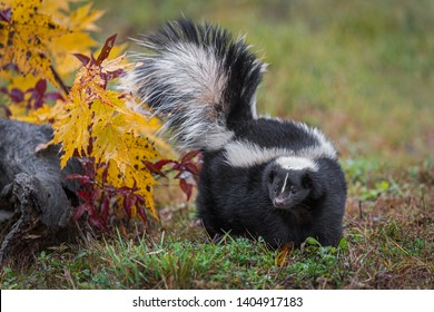 Striped Skunk (Mephitis mephitis) Turns Left Tail Up Autumn - captive animal