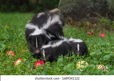 Striped Skunk (Mephitis mephitis) With Two Kits and Apples Summer - captive animals