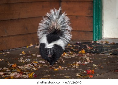 Striped Skunk (Mephitis mephitis) Walks Away From Building - captive animal
