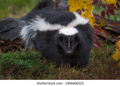 Striped Skunk (Mephitis mephitis) Walks Forward Autumn - captive animal