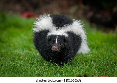 Striped Skunk (Mephitis mephitis) Walks Straight Forward - captive animal