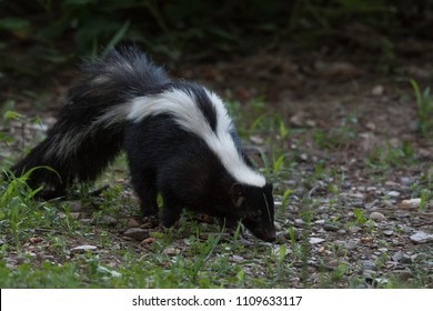 Striped Skunk searching for food on rocky ground (side profile) 2