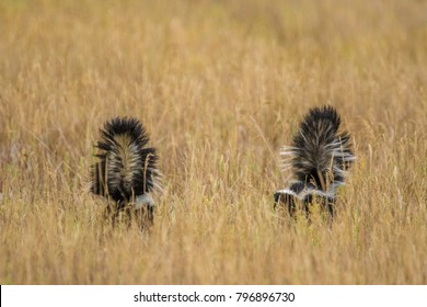 Striped skunk walks through the grass in northwest Colorado