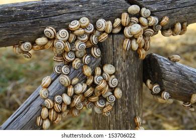 A lot of striped snails
