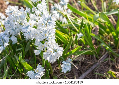 Striped Squill - Puschkinia scilloides Alba during summer sunny day.