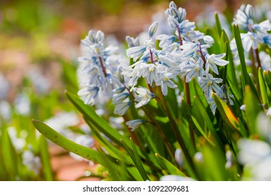 Striped Squill (Puschkinia scilloides) flowering profusly in the spring garden.