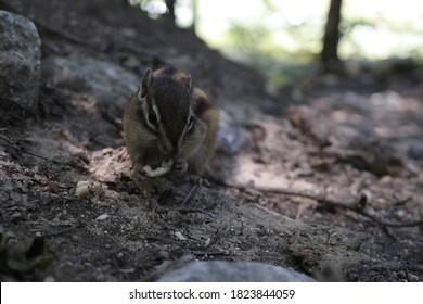 The striped squirrel is feeding.