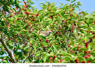 Striped throated bulbul bird enjoy eating fruit of banyan tree (food of birds and various animals in tropical rainforest) in nature in Thailand