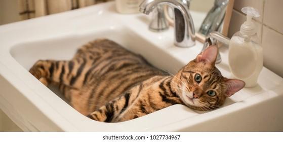 striped tiger cat in sink - cute kitten in bathroom