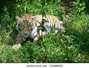 Striped tiger lies in the shade under the tree.