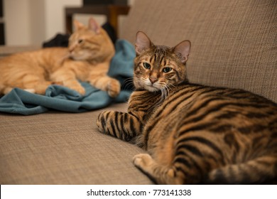 striped toyger cat hanging out with orange tabby on couch - cats interior on sofa