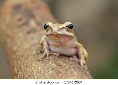 striped tree frog, four-lined tree frog on the branch