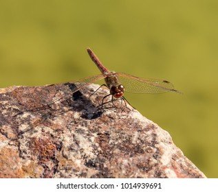 Striped or Variegated Meadowhawk Dragonfly