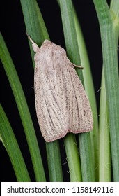 Striped Wainscot moth ( Mythimna pudorina ). Sitting on grass stems with a black background.