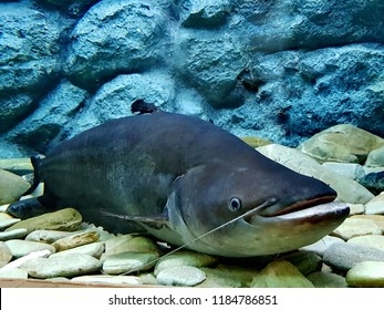 The striped wallago catfish, helicopter catfish, or Tapah (Wallagonia leerii) in freshwater aquarium. it is a species of catfish native to Southeast Asia.