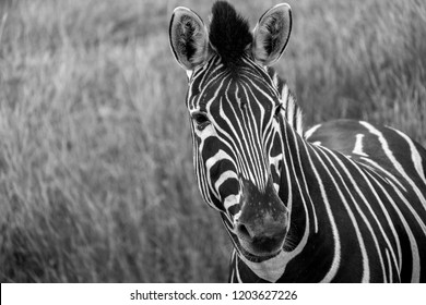 Striped zebra in the grass, looking to camera. Photographed in monochrome at Port Lympne Safari Park, Ashford Kent UK.