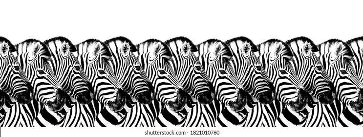 Striped zebras seamless pattern white background isolated, zebra head art border, animalistic black & white banner design, african animal wallpaper, wild nature frame, repeating ornament, trendy print
