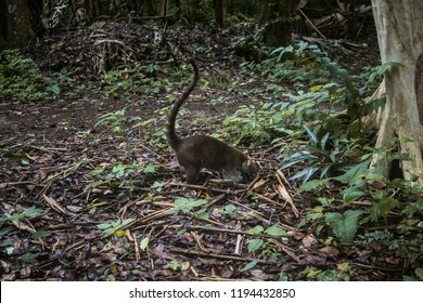 A striped-tail coati - part of the raccoon family, also known as a coatimundi - digs in the undergrowth of a forest in Guatemala for food