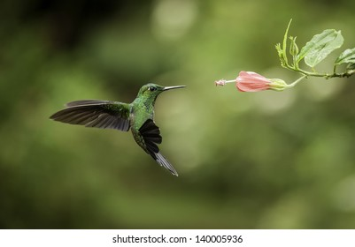 Striped-tailed hummingbird frozen in flight with a fast shutterspeed.