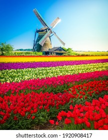 Stripes of multicolored dutch tulips close up, traditional windmill behind