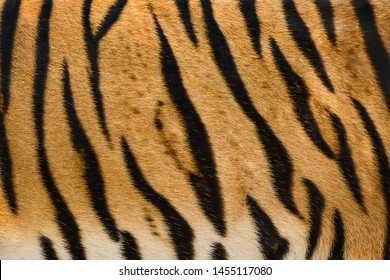 Stripes on skin of an Bengal tiger (real fur)