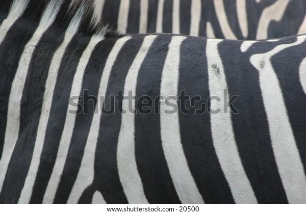 Stripes of Zebra closeup
