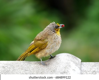 Stripe-throated Bulbul with a red seed in its mouth standing on a roof