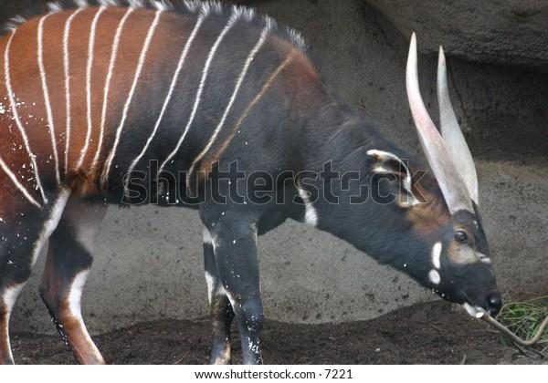 stripey horned ungulate