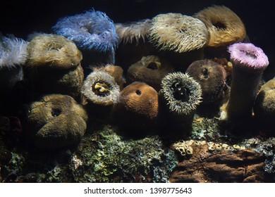Stripped anemone (Anthothoe stimpsoni), cape anemone (Bunodosoma capensis) and false plum anemone (Pseudactinia flagellifera).
