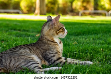 stripped cat portrait lay back to camera on a green grass meadow in park outdoor natural colorful environment and looking somewhere side ways