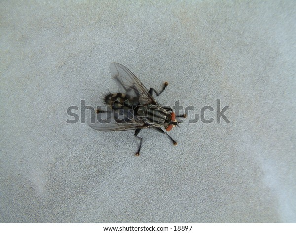 stripped fly on the table