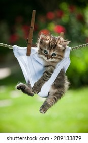 Stripy fluffy kitten in white panties hanging on the rope looking straight